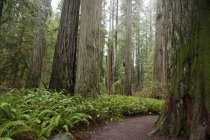 Trail In Coastal California Redwood Forest — Stock Photo