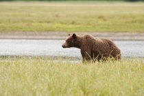 Grizzly Bear standing on field — Stock Photo