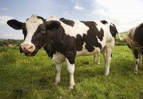Holstein-friesische Rinder auf dem Feld — Stockfoto
