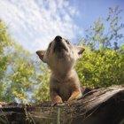 Faible Angle de Coyote Pup — Photo de stock