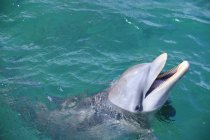 Bottlenose Dolphin In Water — Stock Photo