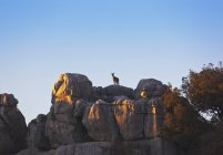 Chèvre sauvage espagnole — Photo de stock
