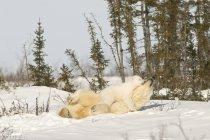 Eisbär mit Junge — Stockfoto