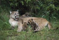 Lion di montagna cuccioli di cura — Foto stock