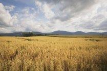 Champ de blé avec des collines — Photo de stock