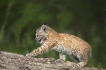 Canada Lynx Kitten — Foto stock