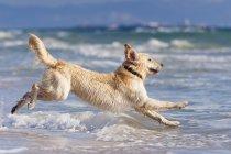 Dog Running In Water — Stock Photo