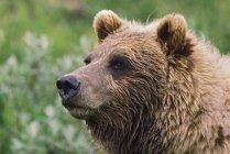 Grizzly Bear Portrait; Denali National Park And Preserve, Alaska — Stock Photo