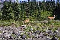 Ciervos en el parque a pie - foto de stock