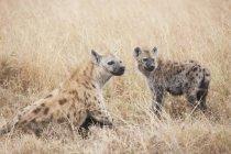 Iene macchiate, Kenya, Africa — Foto stock