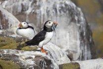 Atlantic Puffins sitting on rock — Stock Photo