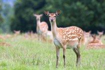 Herd Of Deer grazing — Stock Photo