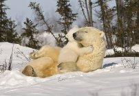 Полярний ведмідь з ведмежам — стокове фото