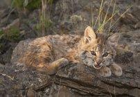 Bobcat Riposi gattino — Foto stock