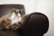Retrato de gato relaxando na cadeira — Fotografia de Stock