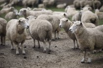 Grupo de ovejas domésticas - foto de stock