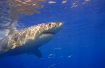 Grande squalo bianco — Foto stock