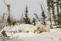 Eisbär mit Cub im Schnee — Stockfoto