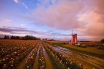 Tulip Farm on field — Stock Photo