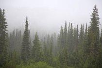 Forest In Fog, Mount Rainier National Park — Stock Photo