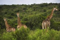 Giraffes In South Africa — Stock Photo