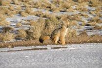 Fuchs im Schnee und Sonnenuntergang — Stockfoto