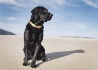 Чёрный лабрадор — стоковое фото