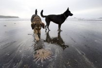 Dogs And Starfish On Beach — Stock Photo