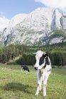 Коровы пасутся на лугу — стоковое фото
