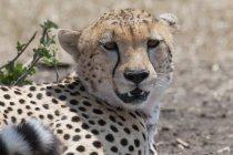 Cheetah mirando la cámara - foto de stock