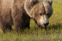 Grizzly Bear on green grass — Stock Photo