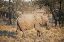 Elephant In Grassy Meadow — Stock Photo