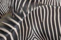 Cebras con rayas blancas y negras - foto de stock