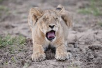 Lion Cub laying — Stock Photo