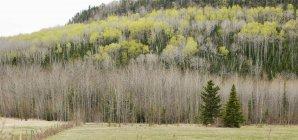 Два вечнозелёных дерева — стоковое фото
