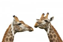 Duas girafas isoladas no branco — Fotografia de Stock