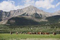 Випас в передгір'ях великої рогатої худоби — стокове фото