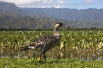 Hawaiian Goose At  Edge of valley — Stock Photo