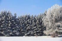 Arbres recouverts de neige — Photo de stock