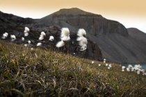 Бавовна Арктиці на полі — стокове фото