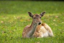 Veado, sentado na grama — Fotografia de Stock
