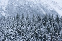 Conifer Forest Shrouded In Snow — Stock Photo