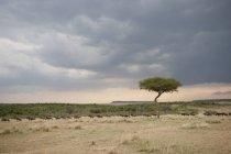 Дерево акации на поле — стоковое фото