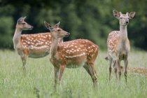 Пятнистый олени стоя на траве — стоковое фото