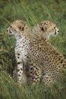 Молодий гепардів у пасовища — стокове фото