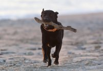 Preto labrador retriever — Fotografia de Stock