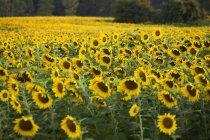 Sunflower Field in Ontario — Stock Photo