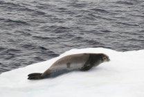 Sigillo di granchio adagiato sul ghiaccio — Foto stock