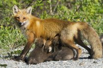 Red Fox Cubs Spanferkel ihrer Mutter — Stockfoto