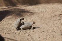 Tortugas en apareamiento en suelo - foto de stock